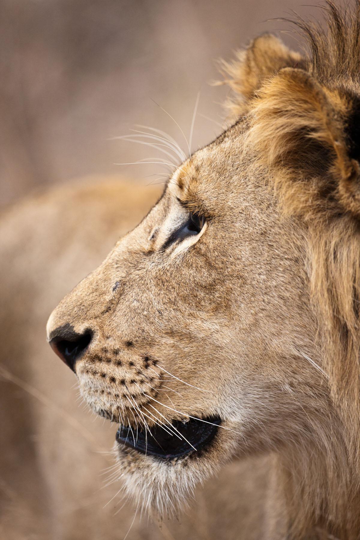 Afrikanische Katze