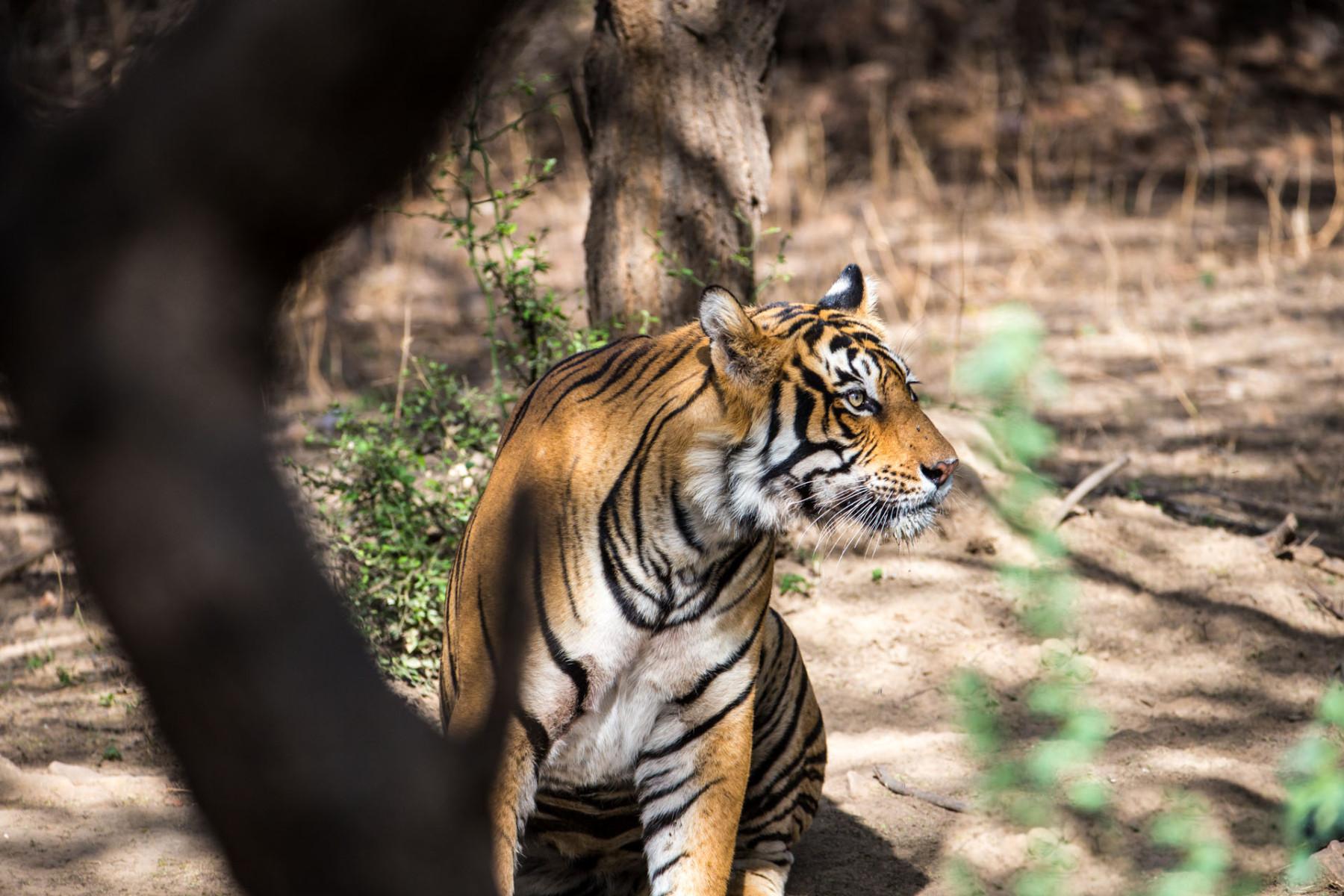 Im Land der Tiger