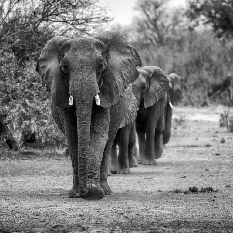 Elefantisches Black & White