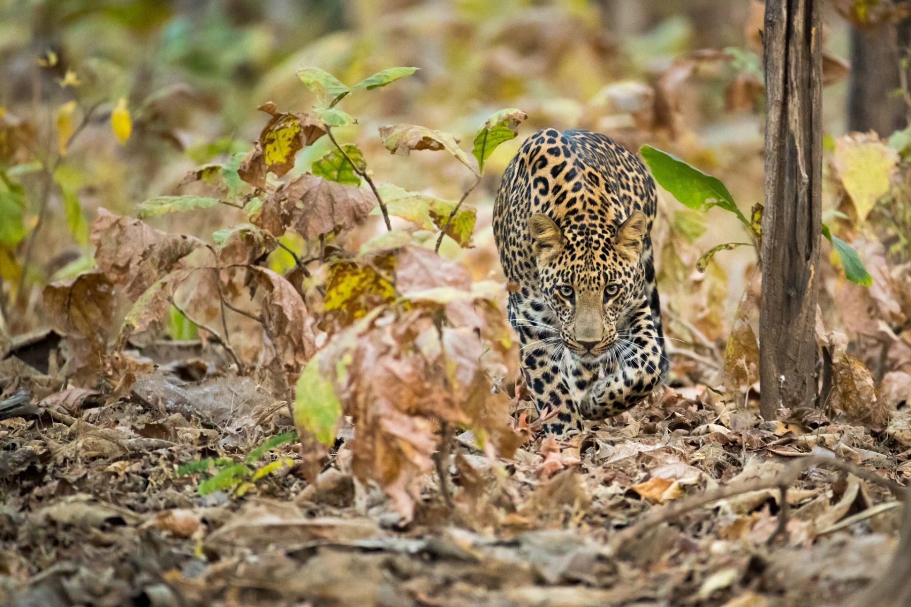 indischer Leopard im Busch